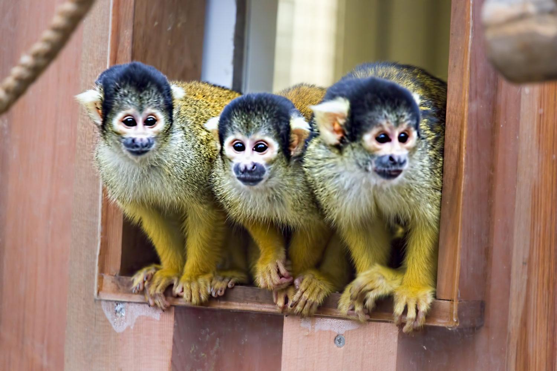 Cahuita national park, Capuchin monkey, Costa rica
